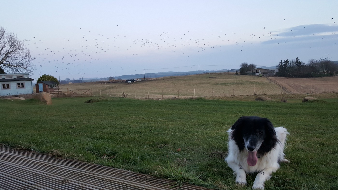 colliedog-playing-in-farmland
