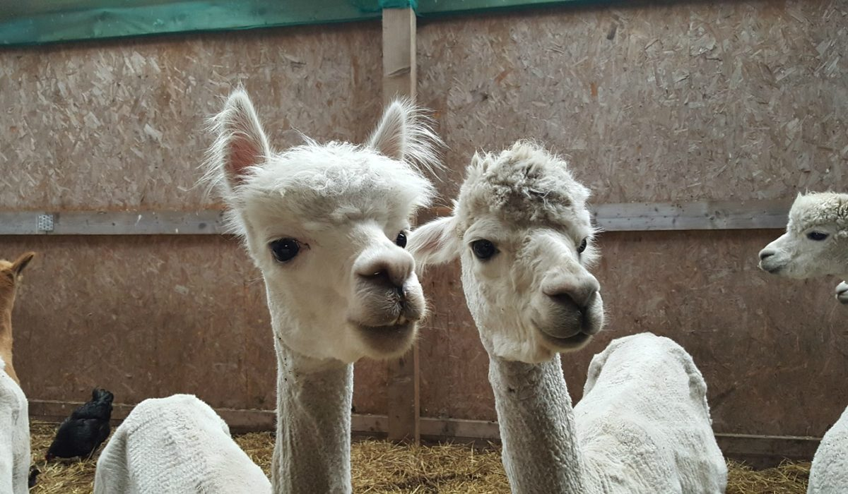 Young Alpacas at The Alpaca Trekking Centre Stirling