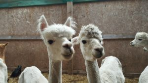 Wheelchair Accessible Alpaca Trekking in Stirling