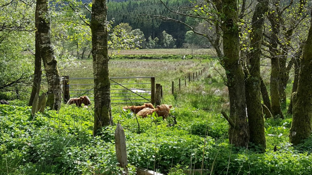 Accessible Scottish Walks Strathyre Highland cows