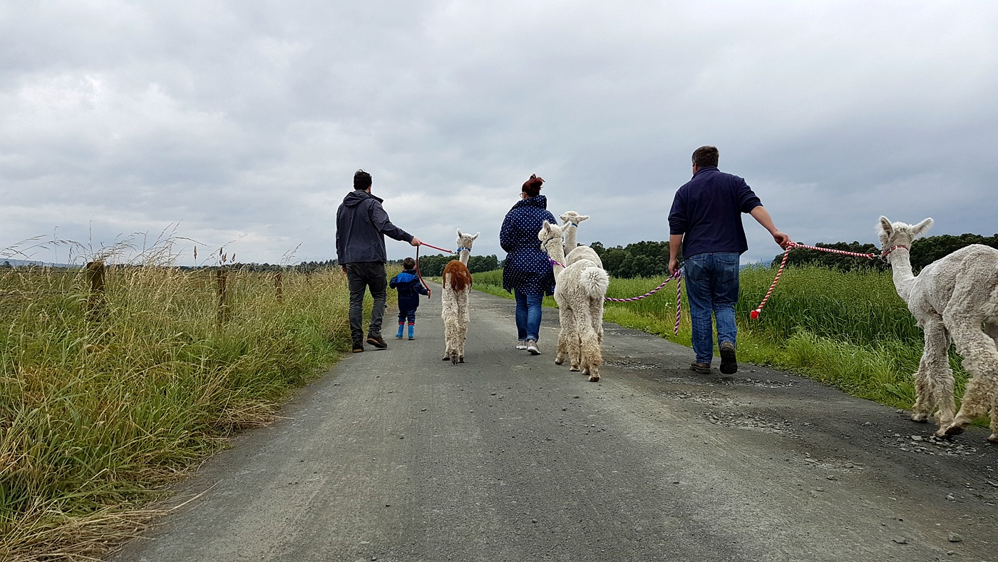Alpaca Trekking Centre Stirling (2)