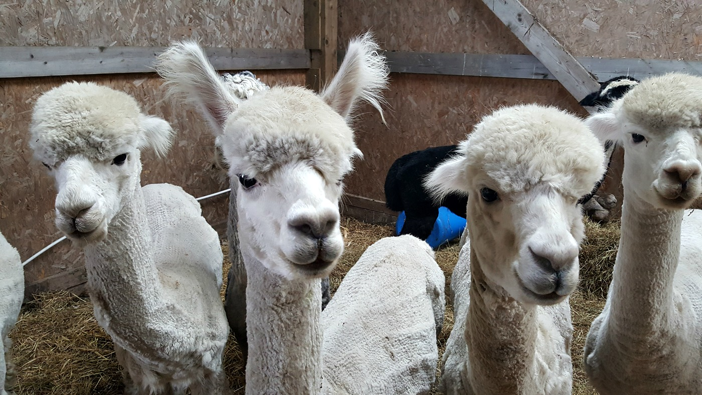 Alpaca Trekking Centre Stirling