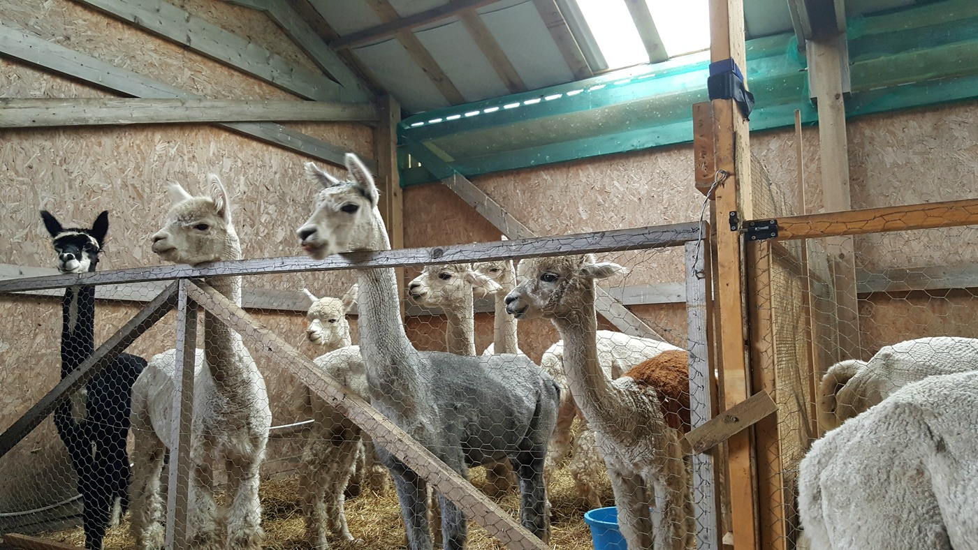 Alpacas at The Alpaca Trekking Centre Stirling