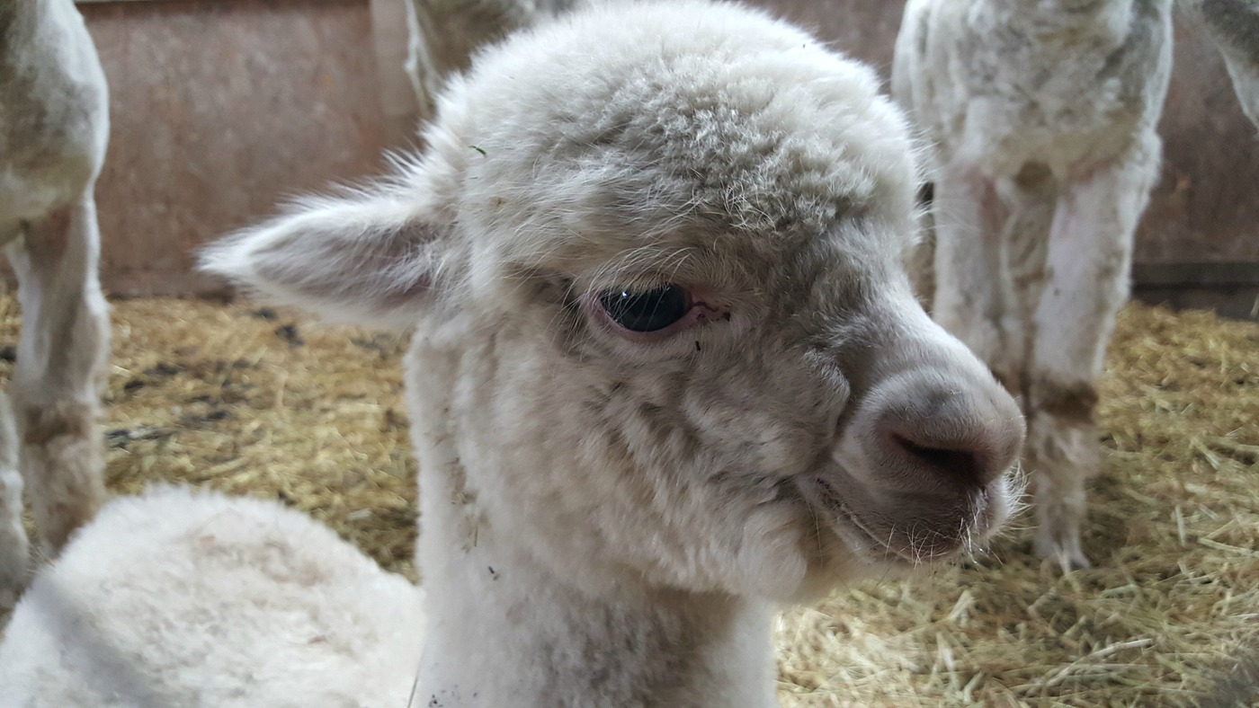 Baby Alpaca at The Alpaca Trekking Centre Stirling