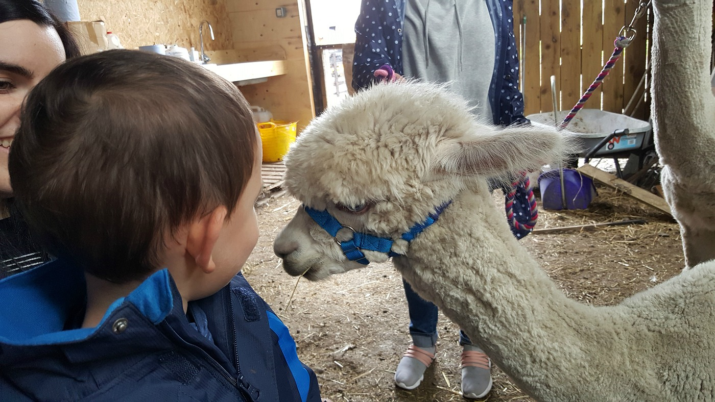 Meeting the alpacas at The Alpaca Trekking Centre Stirling