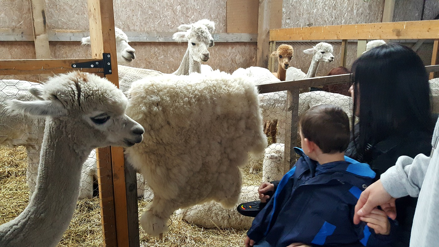 Wheelchair accessible Alpaca Trekking Centre Stirling