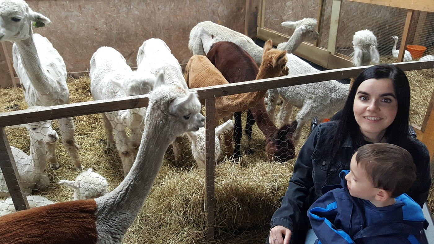 Wheelchair accessible Alpaca Trekking Centre near Stirling