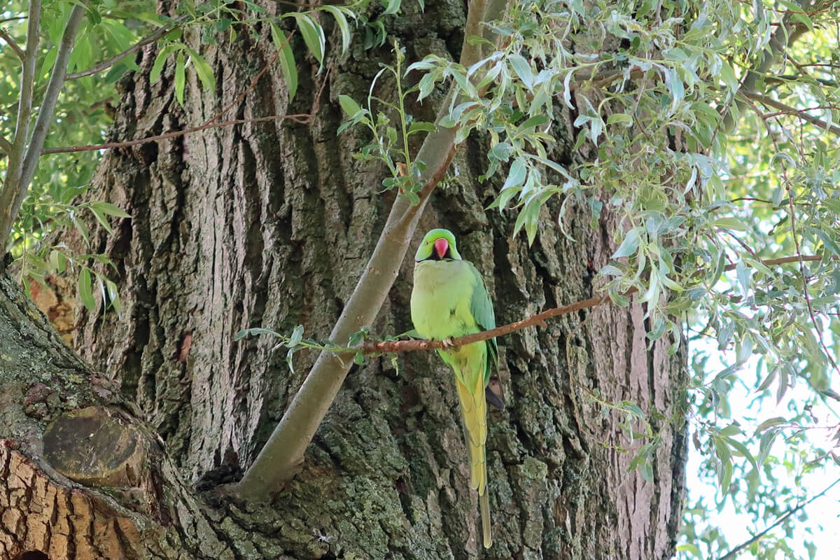A green wild parrot sitting in a tree in Rembrandtpark