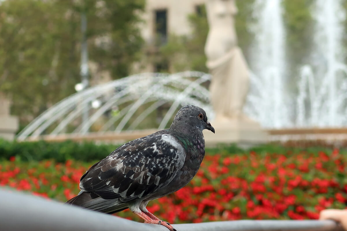 Pigeon sitting on the wall with red flowers and a water fountain in the background.