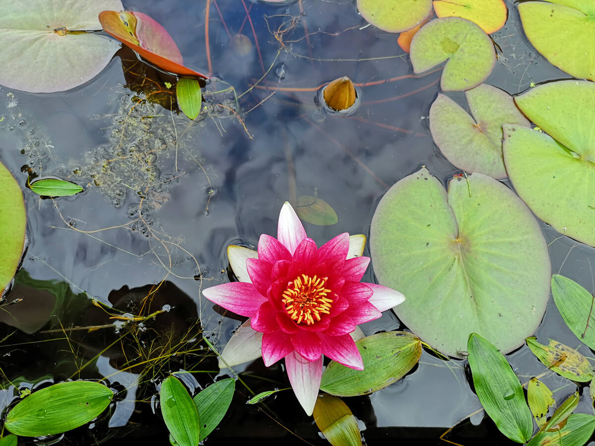 A pink and white Lily pad flower in the pond at Japanese Garden at Cowden.