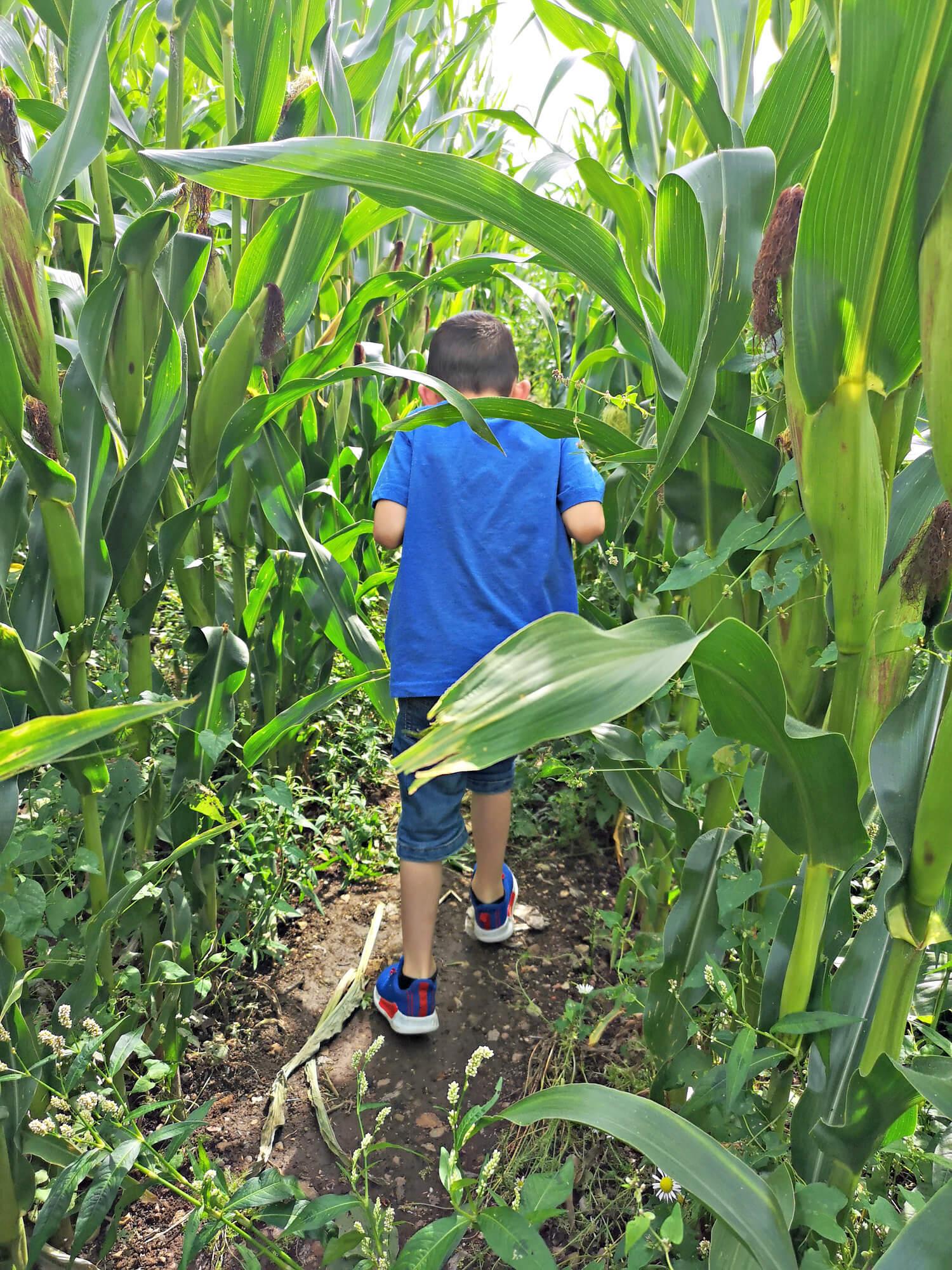 Emma's nephew walking through the corn paths.