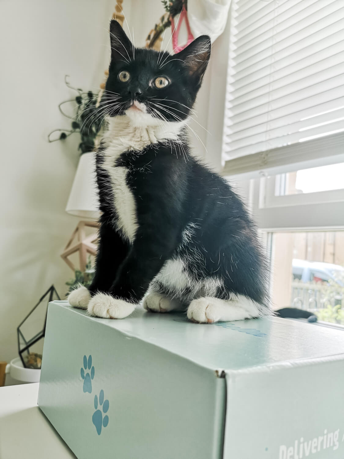 A kitten sitting upright on top of the Gus & Bella cat box.