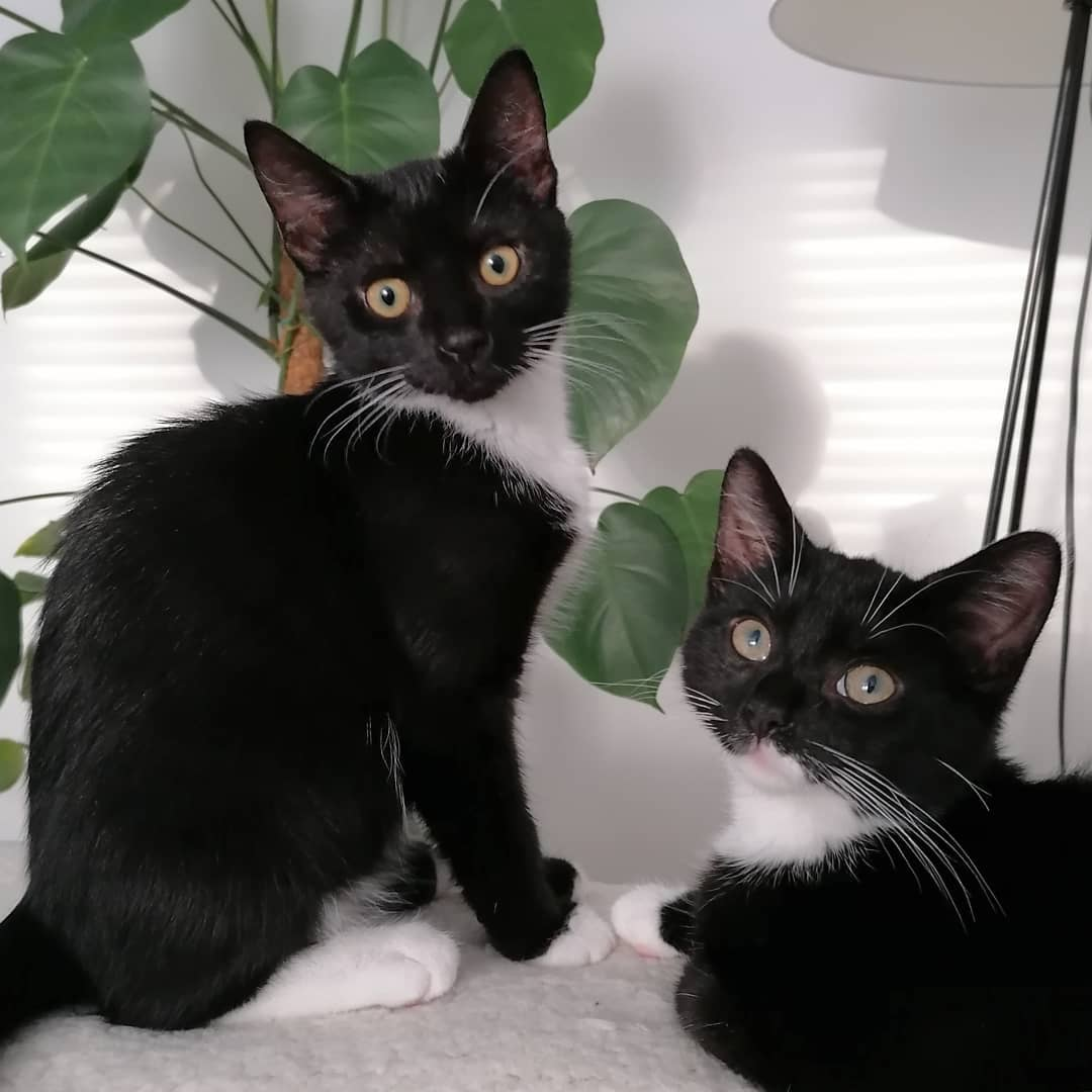 Two black and white kittens sitting on the arm of the sofa. A Monstera plant is behind then. They are both looking at the camera.