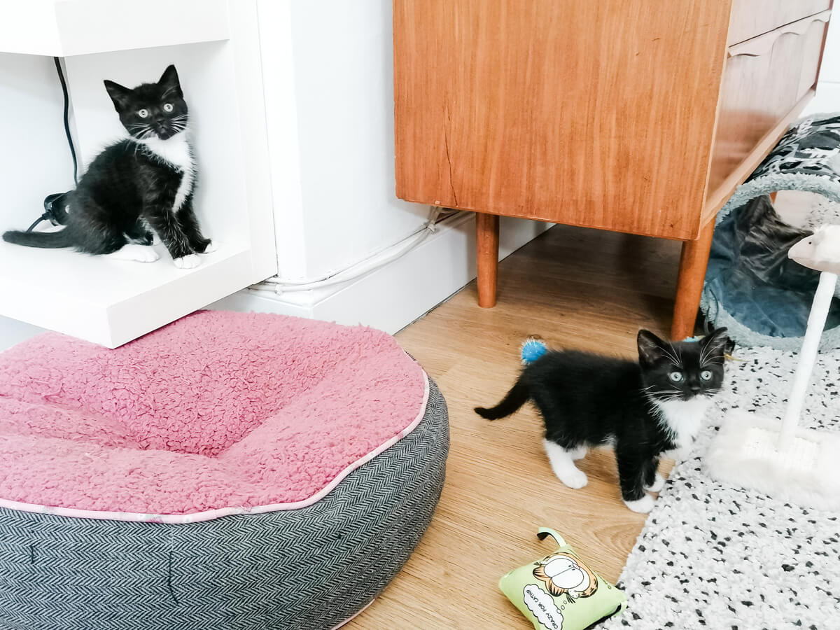 Two black and white tuxedo kittens playing in the livingroom. There are cat toys laying on the floor and there is a pink an grey cat bed.