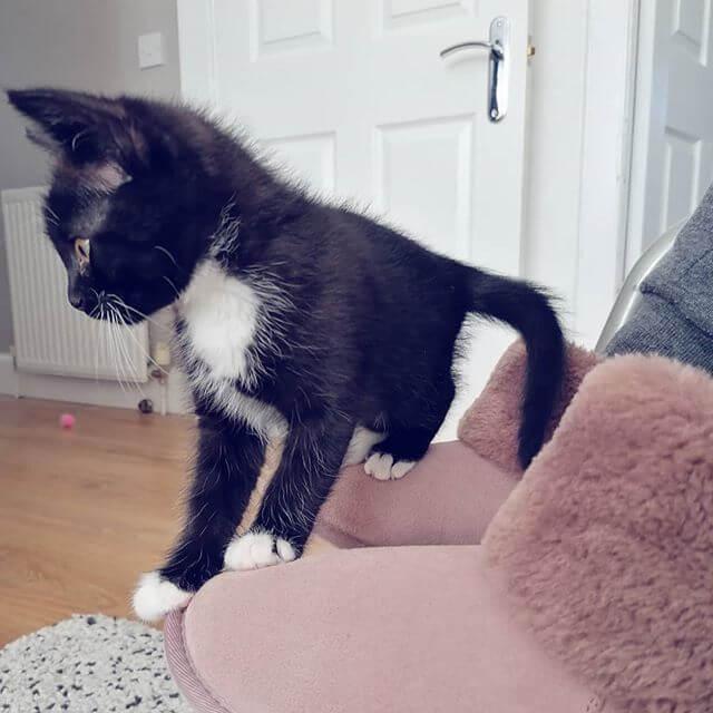 Tiny tuxedo kitten sitting on a slipper boot.