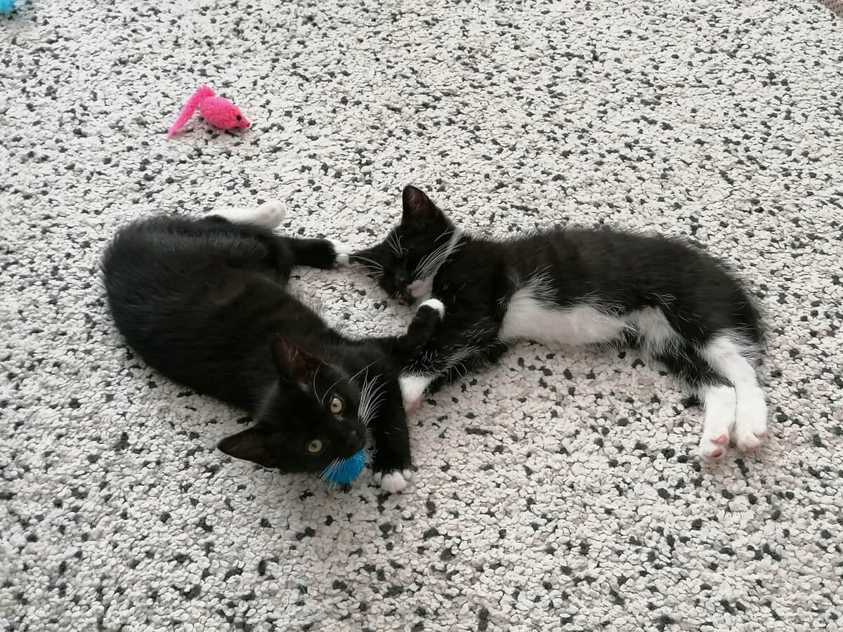Two black and white tuxedo kittens sleeping together on the floor next to their cat. toys.