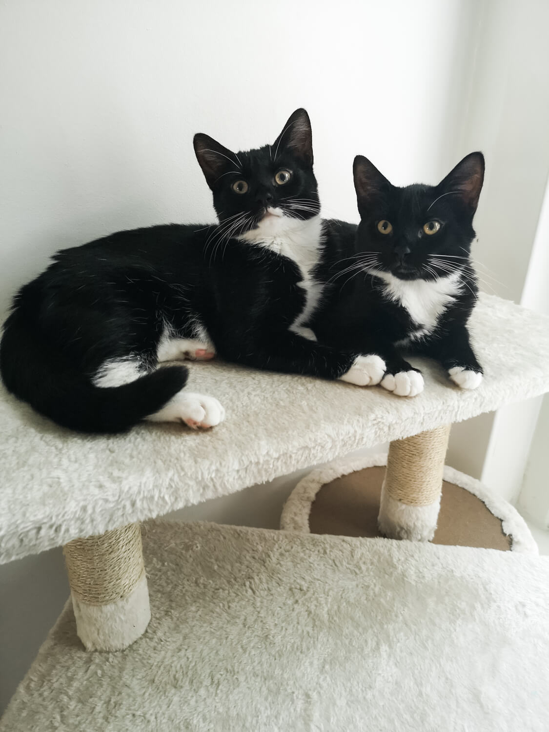 Two tuxedo cats laying next to each other on the top level of a cat tree.