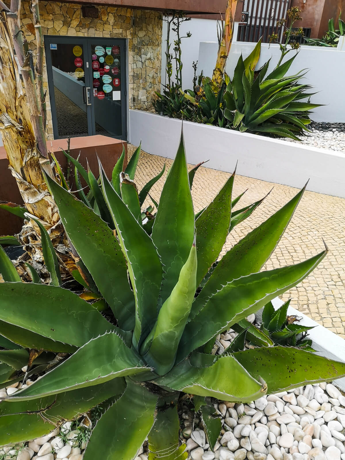 A large green succulent plant outside the entrance to the Furnas do Guincho restaurant in Cascais