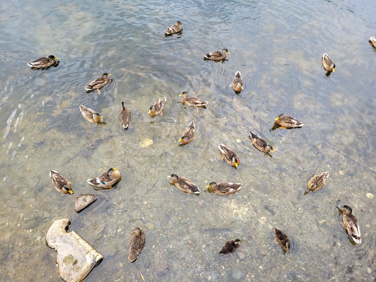 A flock of ducks swimming in a large pond